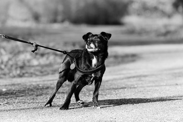 Une sélection de laisses pour la promenade de votre chien. Laisse pour chien qui tire, laisse en nylon, en cuir, rétractable...