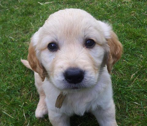 le blog de Lucien. Jeune chien golden retriever vous présente conseils et produits pour chien.